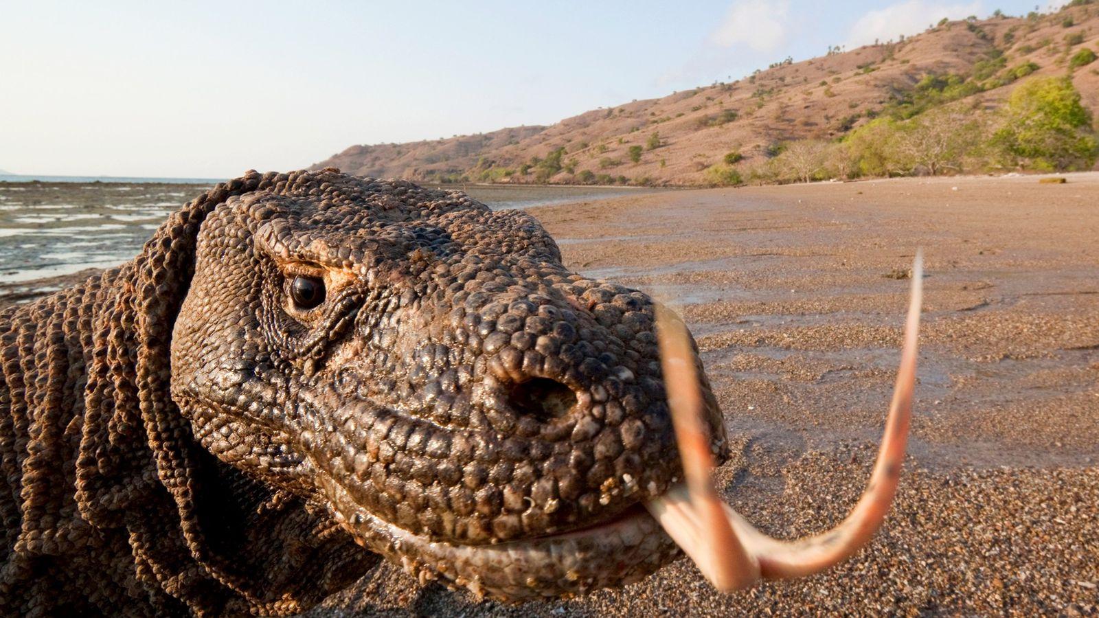 Podendo chegar a três metros de comprimento e mais de 136 quilos, os dragões-de-komodo são os maiores ...