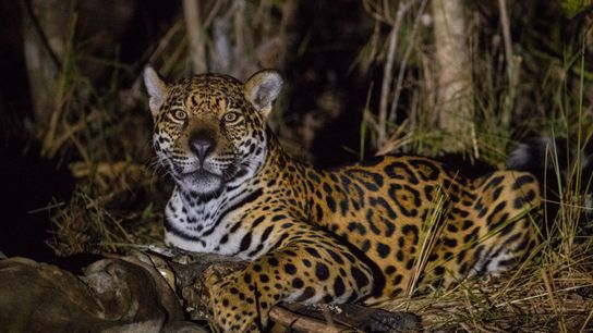 Onça-pintada come um jacaré no Pantanal Sul-matogrossense. Pesquisadores alertam para um dano adicional causado pelo avanço ...