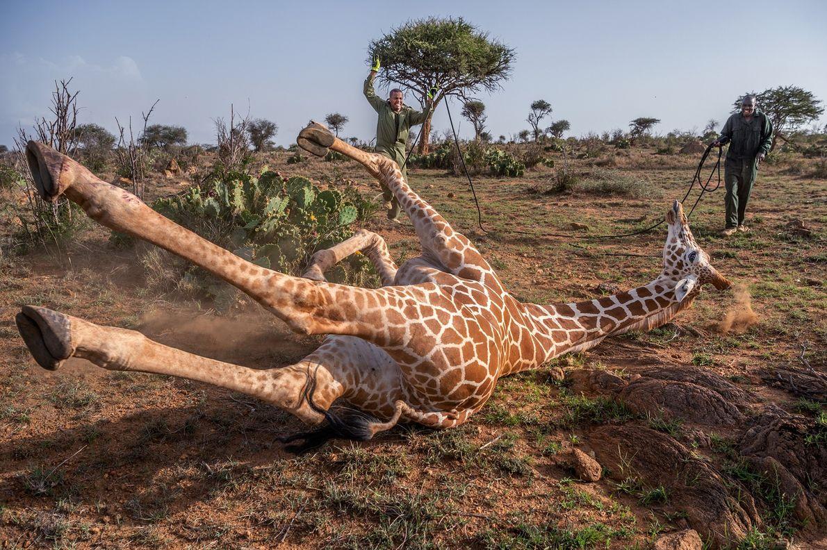 Especialistas da vida selvagem do Quênia se aproximam de uma girafa reticulada que recebeu tranquilizantes na ...