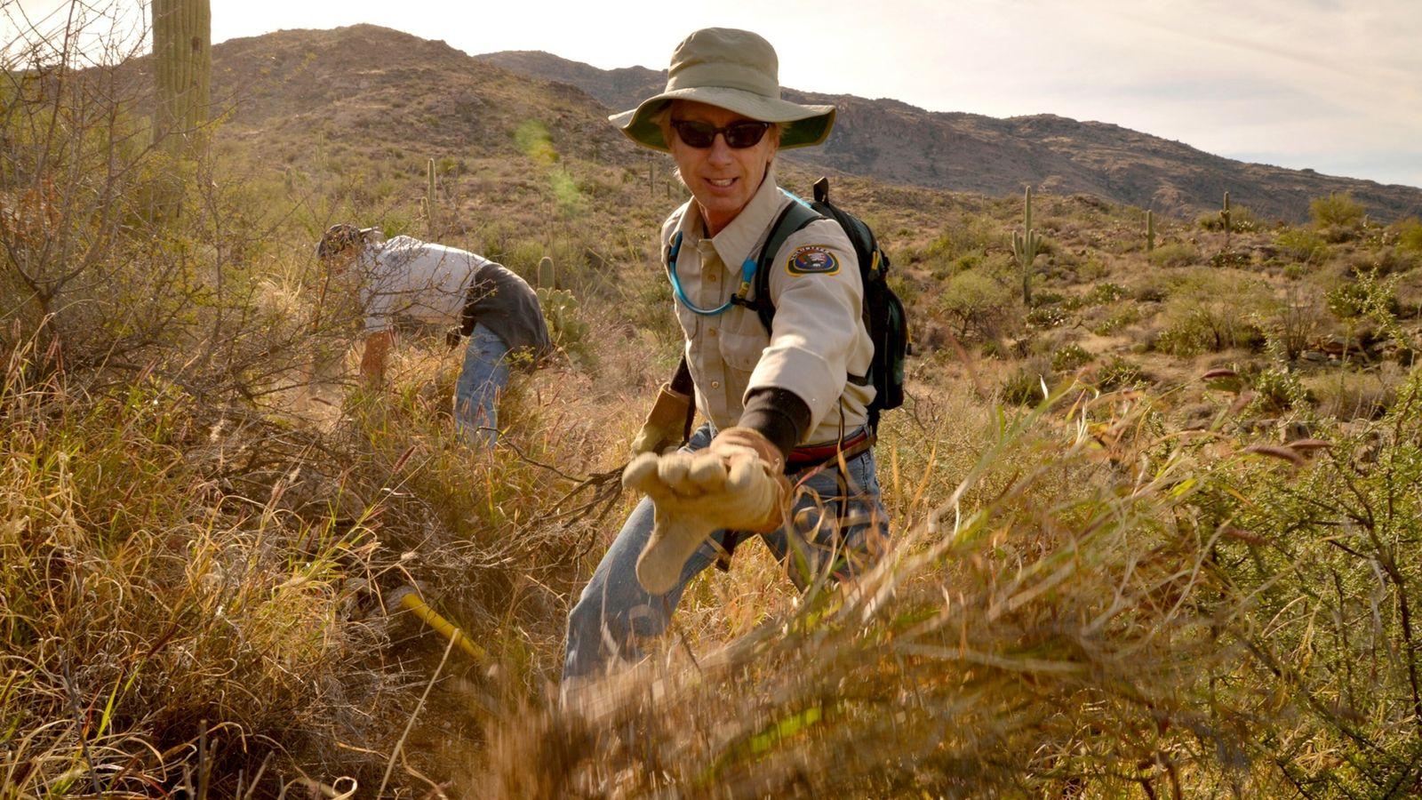 Membro da equipe do Distrito Leste do Parque Nacional Saguaro arranca capim-buffel, planta não nativa que ...