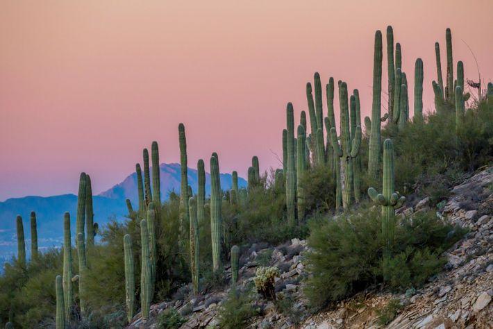 Cactos-saguaros gigantes se alinham em uma encosta nas Montanhas de Santa Catalina, no Arizona.