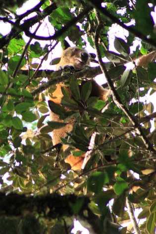 Esta é uma das únicas fotografias conhecidas do canguru-arborícola Wondiwoi, tirada recentemente pelo botânico amador Michael ...