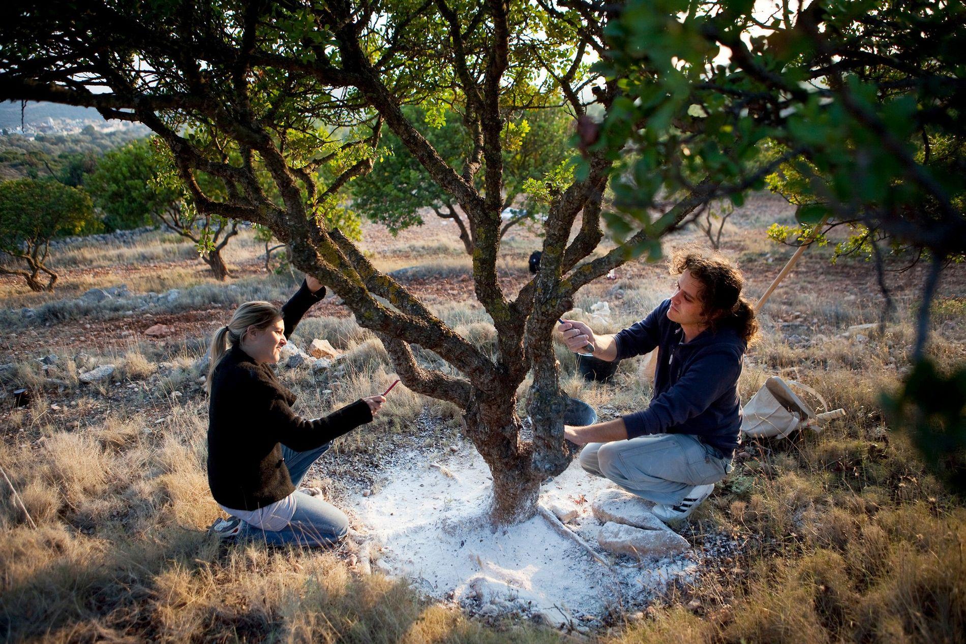 Vassilis Ballas e sua esposa, Roula Boura, extraem resina de uma aroeira-da-praia em Chios. O processo ...