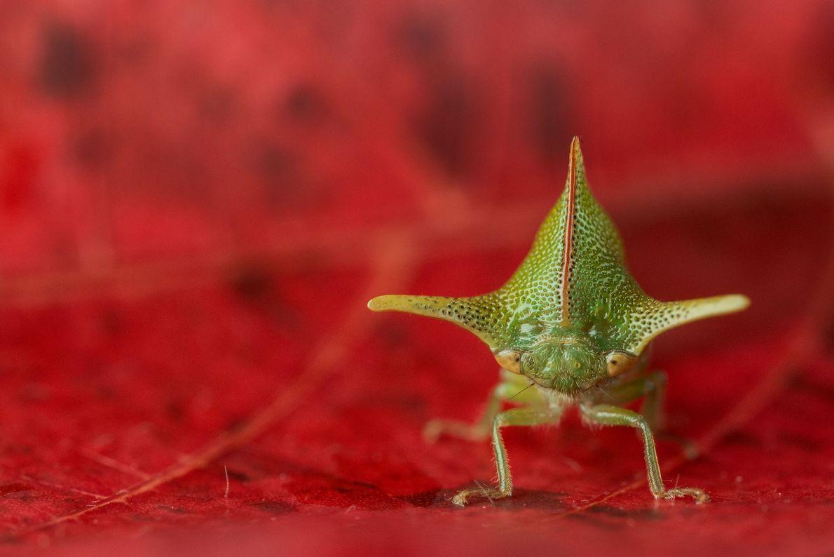 A Alchisme grossa (nome científico) tem farpas espinhosas que podem afastar possíveis predadores. Esse agitado inseto ...