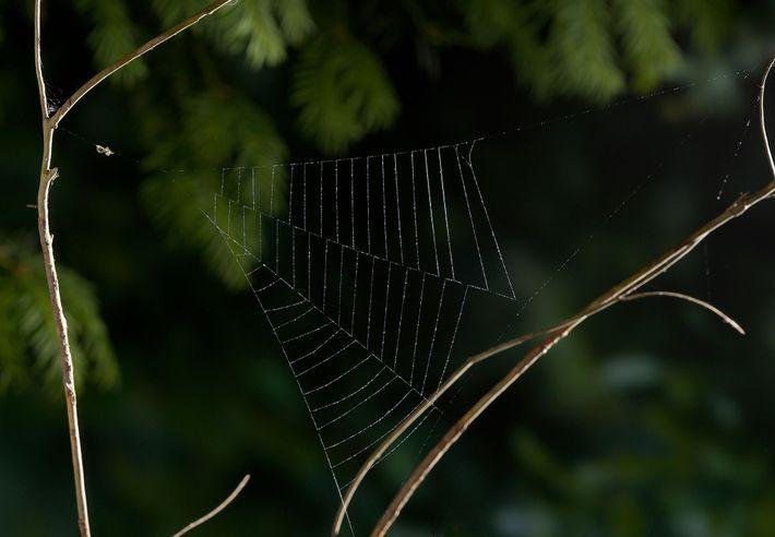 Uma aranha do gênero Hyptiotes aguarda uma presa em sua teia recém-construída.