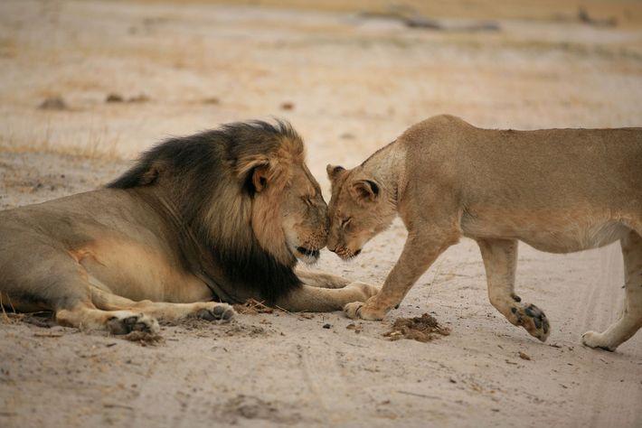 O leão Cecil troca carinhos com uma leoa em 2012, três anos antes do dentista Walter ...