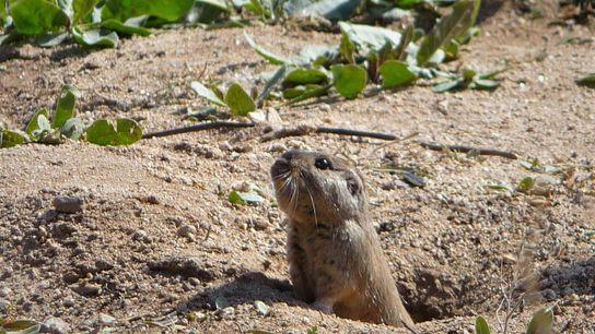 roedor tuco tuco dia alimento