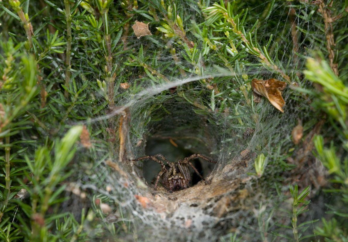 Uma aranha-de-labirinto (Agelena labyrinthica) aguarda na sua teia em formato de funil.