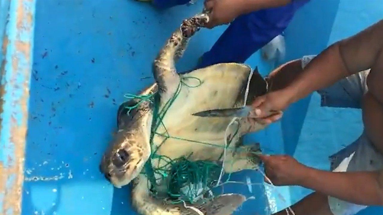 """Tartaruga-marinha presa em """"rede invisível"""" é resgatada"""
