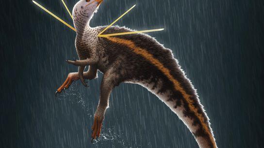 O dinossauro Ubirajara jubatus é o primeiro dinossauro não-aviário conhecido com penas excepcionalmente proeminentes nos ombros. ...