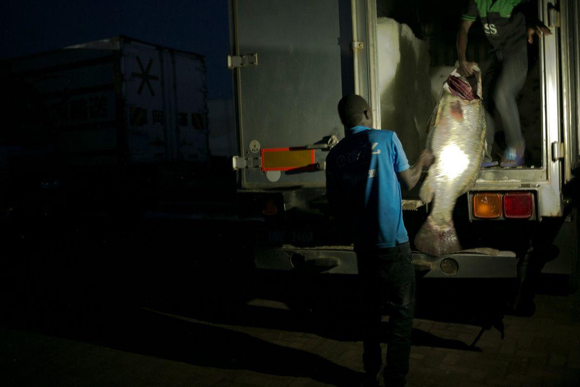 Comerciantes de peixes pesam uma perca-do-nilo grande e a levam ao caminhão-frigorífico.