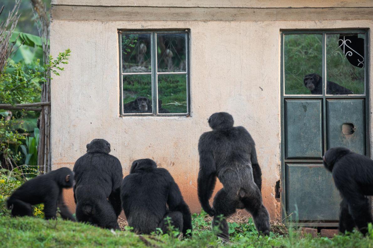 No entorno de alguns vilarejos no oeste de Uganda, pequenos grupos de chimpanzés ficaram relegados a ...