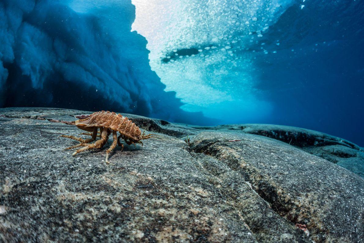 debaixo-da-antartida-crustaceo