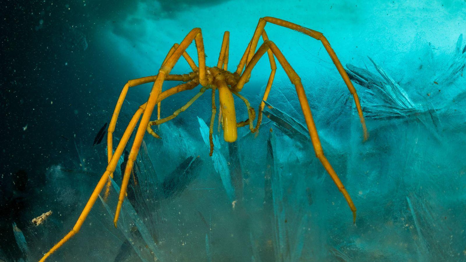 debaixo-da-antartida-aranha-do-mar