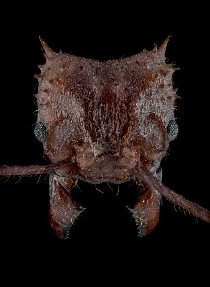 A formiga da espécie Acromyrmex echinatior, que cultiva fungos, conta com um tipo de revestimento biomineral recém-descoberto ...