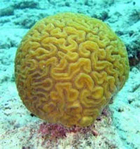 Corais sobrevivem a oceanos ácidos ao mudar para o modo de corpo macio