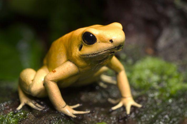 Rãs-venenosas-douradas obtêm suas toxinas por meio da ingestão de pequenos insetos.