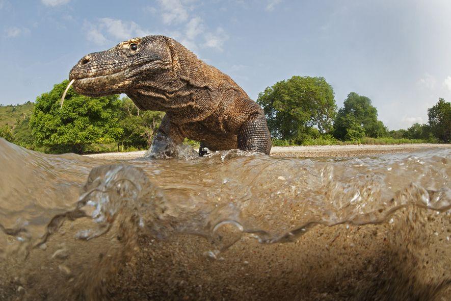 Depois de morder uma vítima, o dragão-de-komodo consegue segui-la por quilômetros enquanto a peçonha age, usando ...