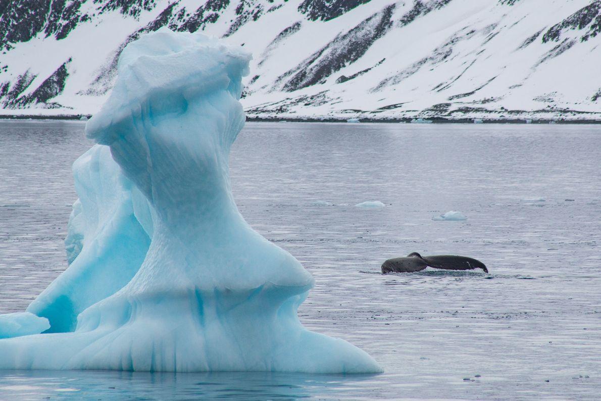 A cauda de uma baleia jubarte (Megaptera novaeanglie) em águas antárticas.