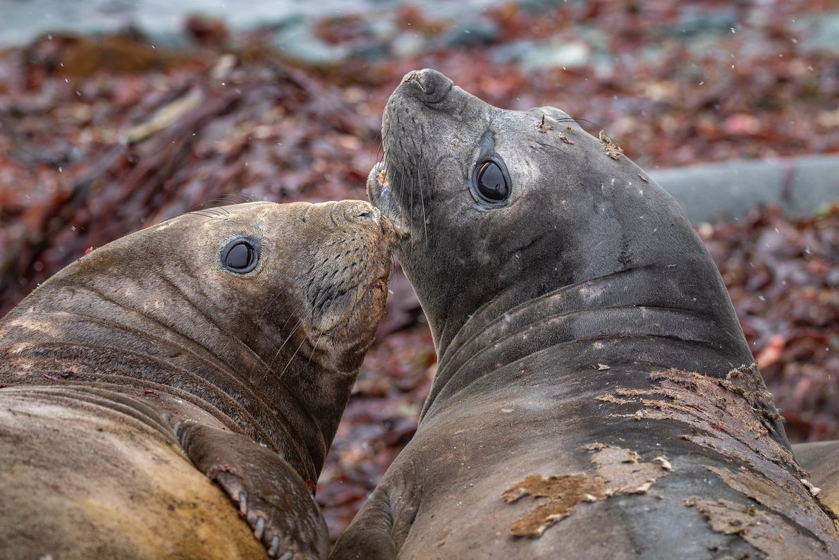 Elefantes-marinho-do-sul (Mirounga leonina), Ilha Nelson, Antártida.