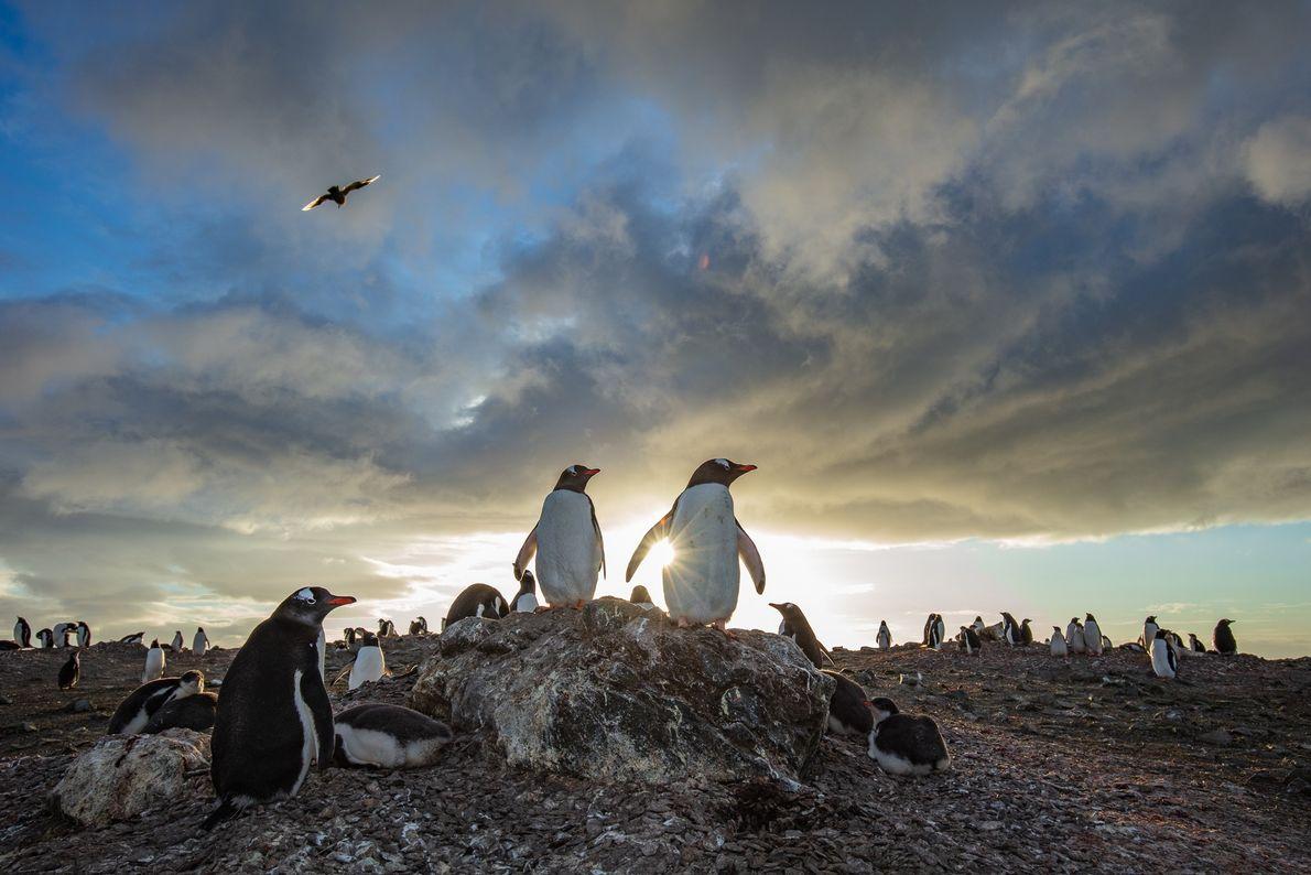 Colônia de pinguins-gentoo (Pygoscelis papua) curtem o entardecer na ilha Nelson, Antártida.