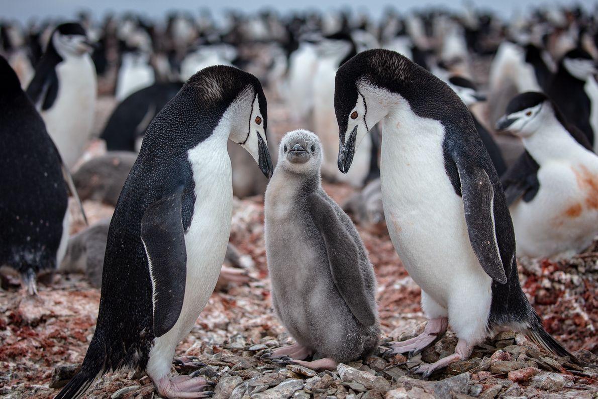 Filhote de pinguim-antártico (Pygoscelis antarcticus) ao lado dos pais em uma colônia da espécie na ilha ...