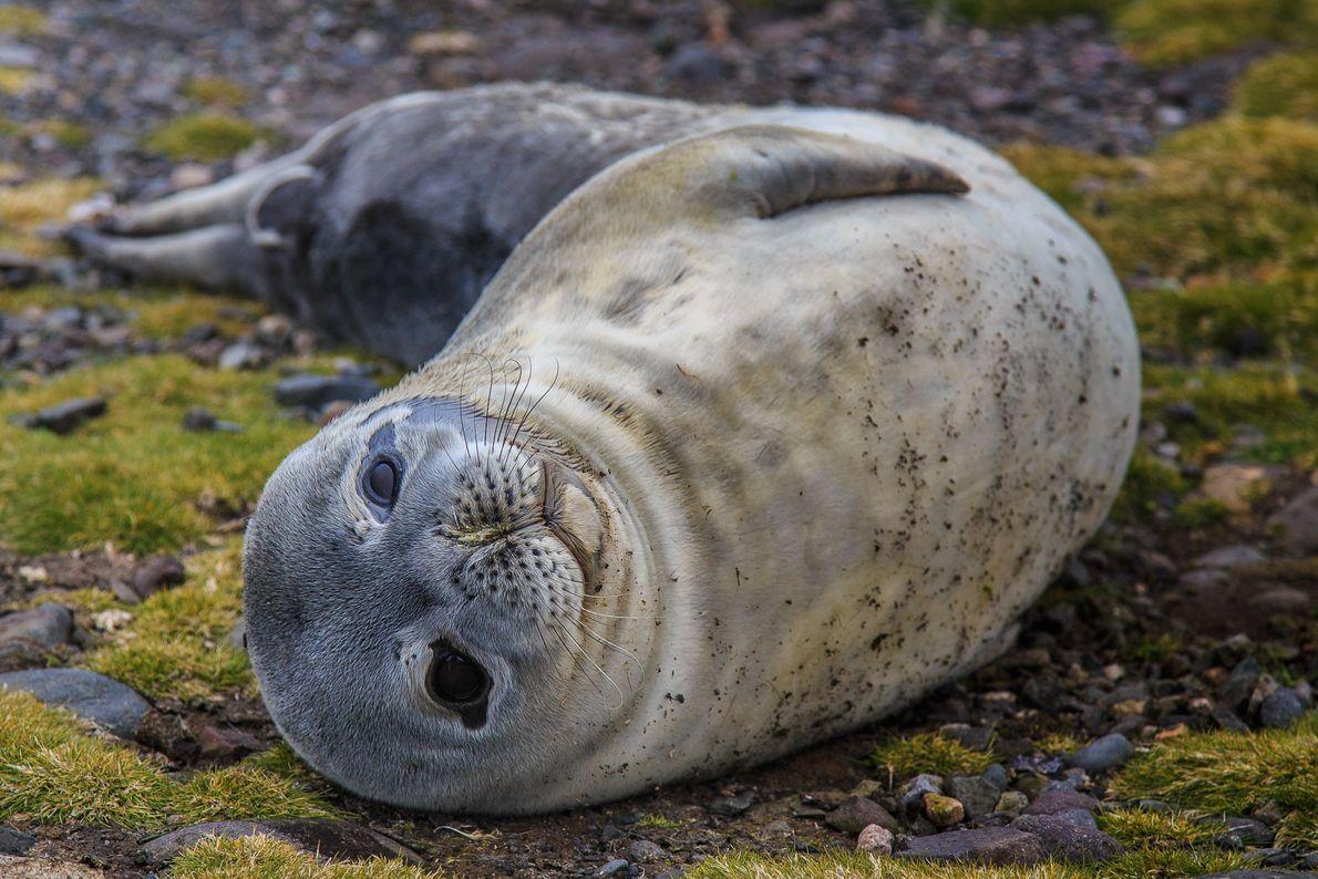 Filhote de foca-de-weddell (Leptonychotes weddellii), Ilha Rei George, Antártida.