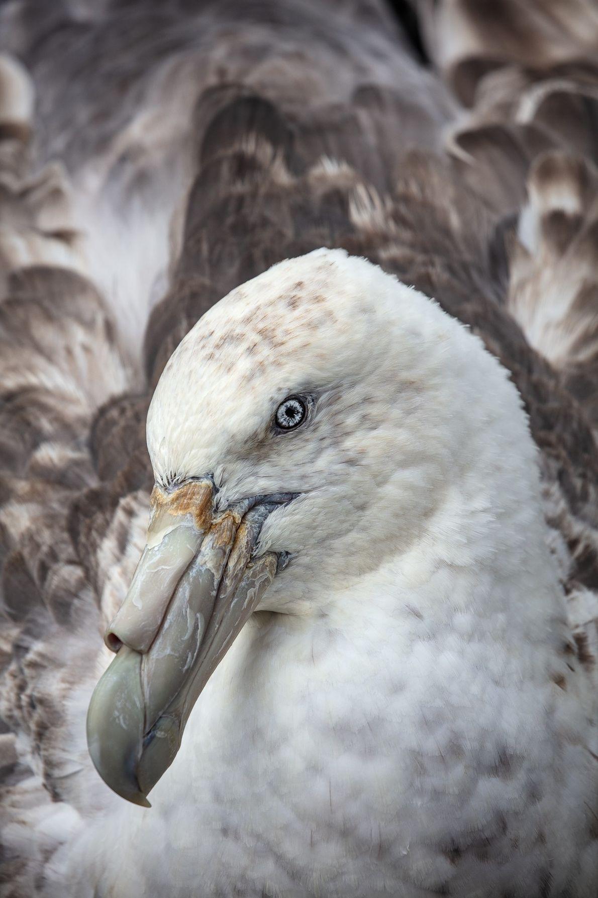 Petrel-gigante-do-sul (Macronectes giganteus): essa ave é pode chegar a 2,4m de envergadura. Segundo a pesquisadora antártica ...