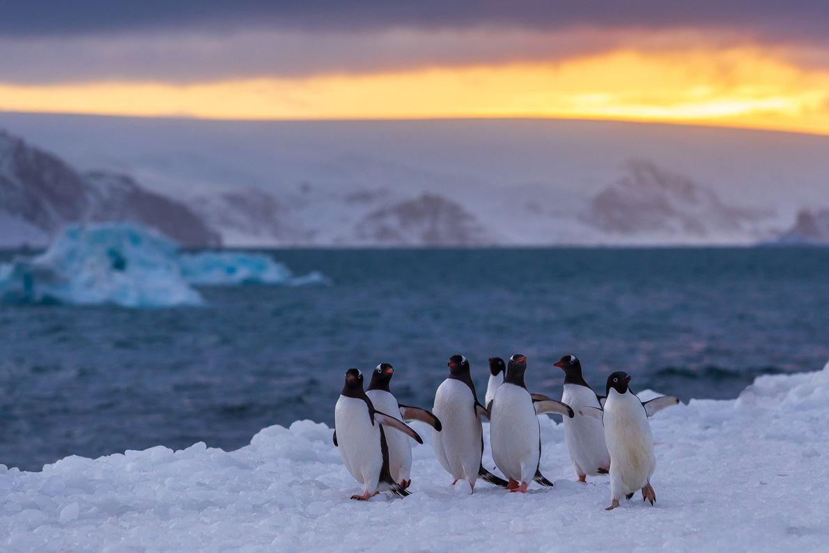 Um grupo de pinguins caminham juntos em um belo entardecer próximo à estação brasileira na ilha ...