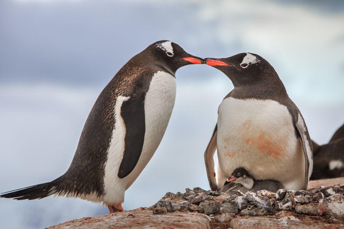 O que será que essa dupla de pinguins-gentoo está fazendo?