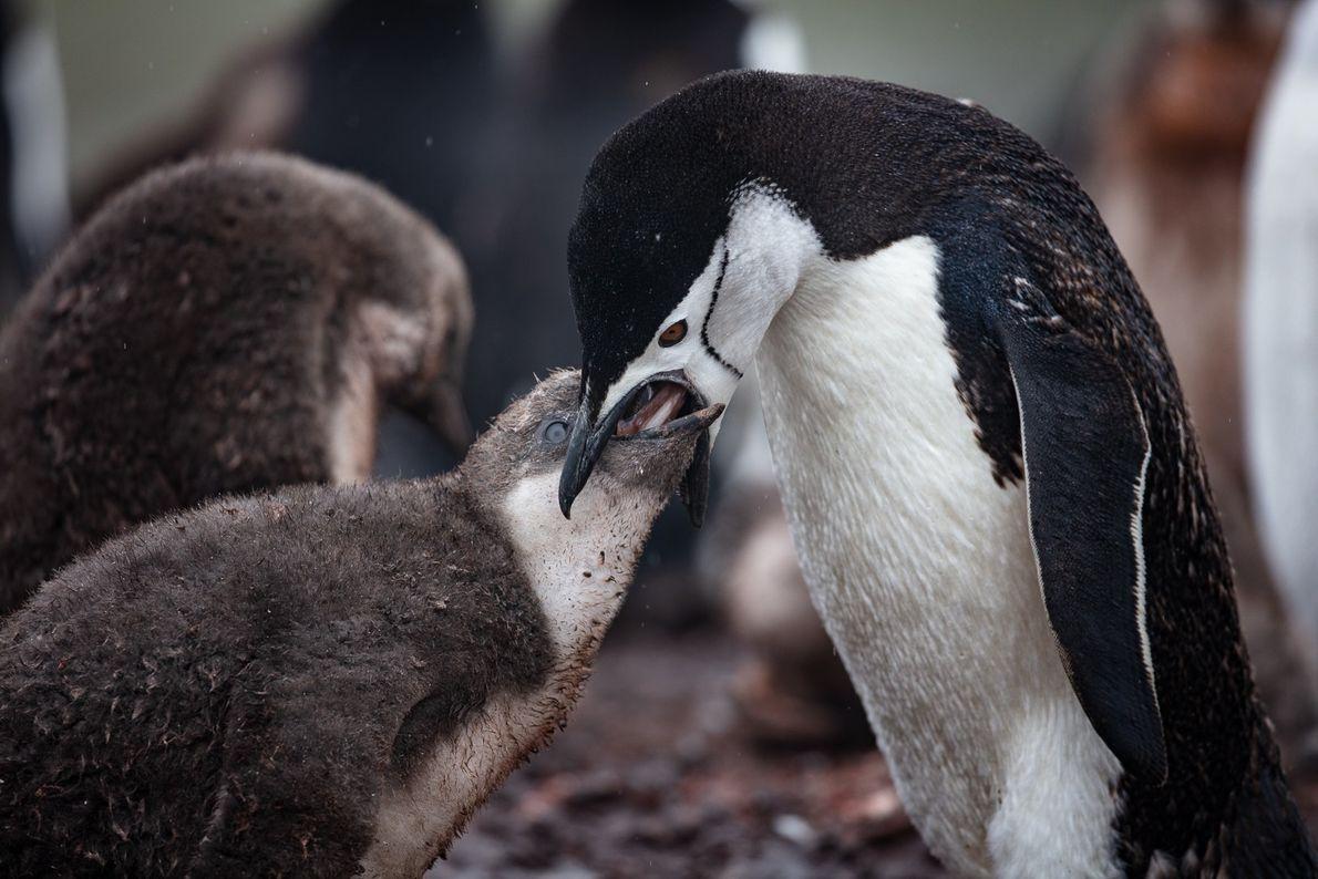Filhote de pinguim-antártico (Pygoscelis antarcticus) sendo alimentando com Krill, minúsculo crustáceo que é a base da ...