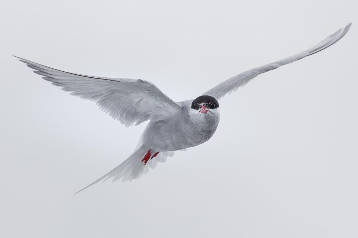 O nome desta ave é trinta-réis-antártico (Sterna vittata).