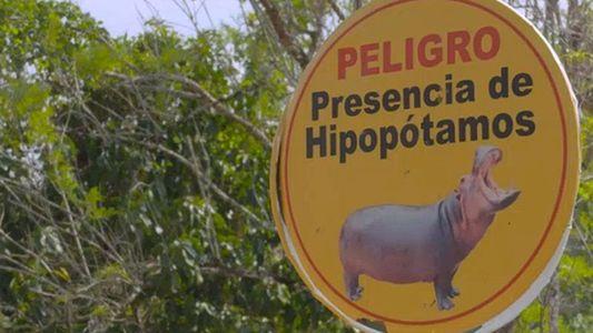Hipopótamos do traficante Pablo Escobar prosperam na Colômbia