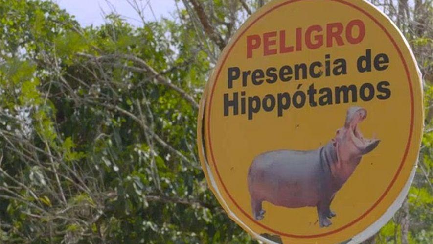 Os hipopótamos do traficante Pablo Escobar prosperam na Colômbia