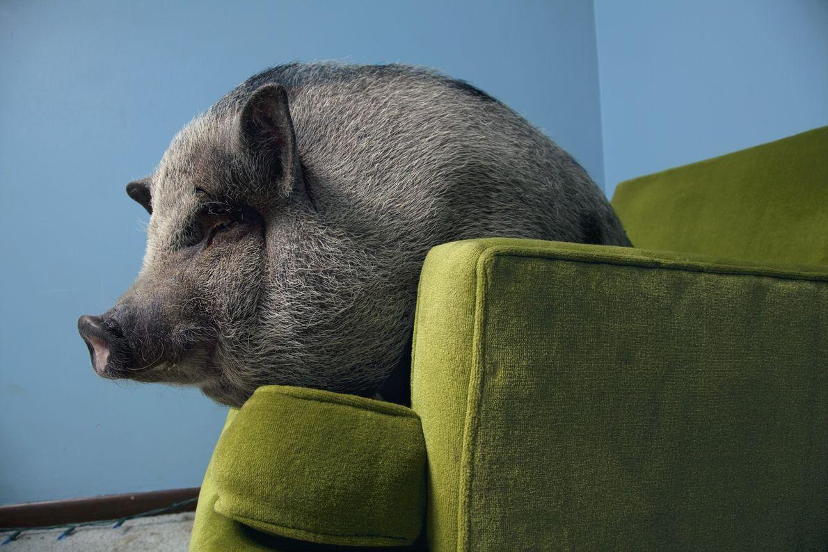 Os porcos vietnamitas são, como todos os porcos, altamente sociais. Estudos mostram que eles enganam outros ...