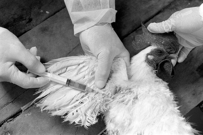 Funcionários da vigilância sanitária colhem uma amostra de sangue de uma galinha para teste da gripe ...