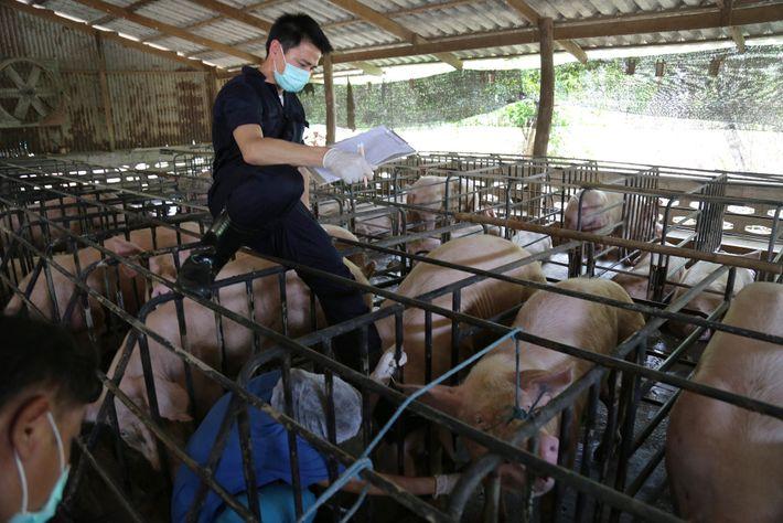 Os pesquisadores também testaram porcos em fazendas localizadas perto da colônia de morcegos. Esse tipo de ...