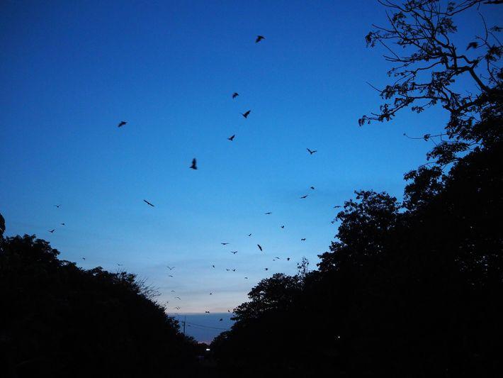 Milhares de morcegos voam ao entardecer para se alimentar de frutas nos pomares próximos em Chonburi, ...