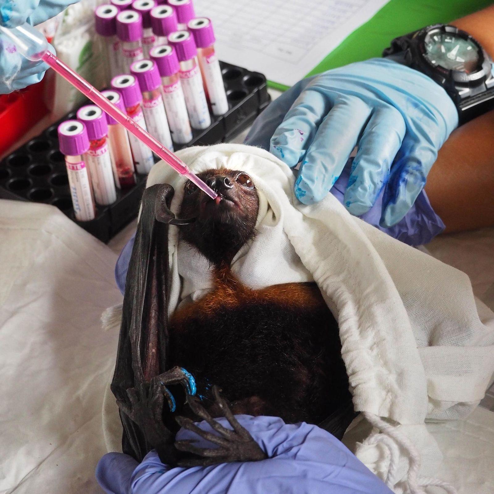 Um morcego frugívoro recebe um pouco de alimento após veterinários coletarem uma amostra de seu sangue ...