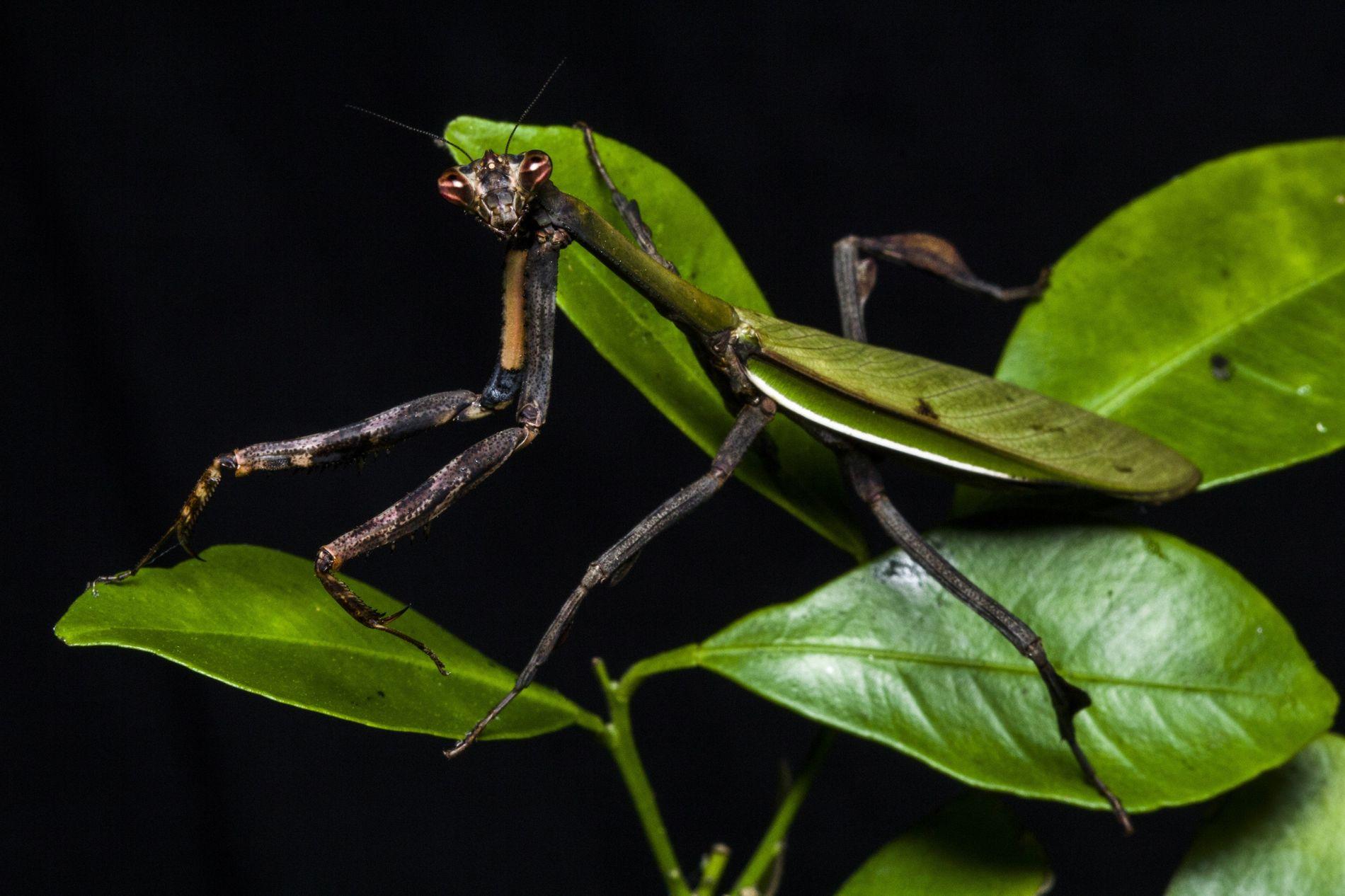 O Vates phoenix fêmea foi encontrado ao acaso no Jardim Botânico do Rio de Janeiro, mais ...