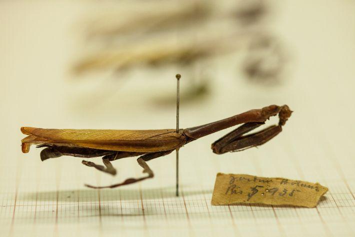 Coletado em 1935 pelo Museu Nacional do RJ, este exemplar de Vates phoenix fêmea estava bastante ...