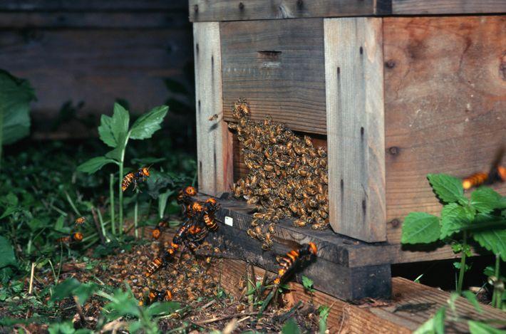 Ataque de vespas-gigantes-asiáticas (Vespa mandarinia) a abelhas no Japão. Uma nova pesquisa mostra que os membros ...