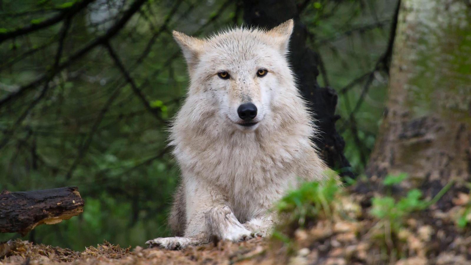 O retorno dos lobos para a região oeste deu início a um intenso debate sobre o ...