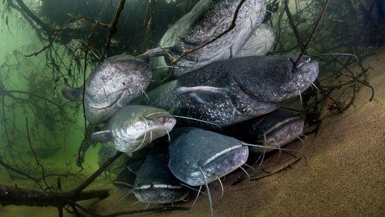Os siluros, nativos do Leste Europeu, podem alcançar até cerca de três metros de comprimento.