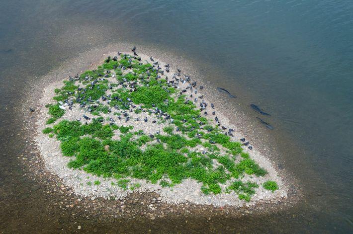 Siluros circundam uma pequena ilha no rio Tarn, preparando-se para agarrar pombos desprevenidos.