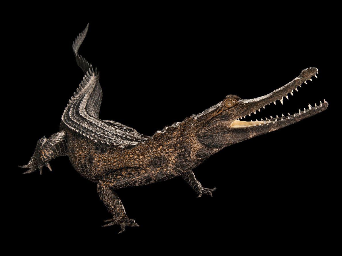 Crocodilo do oeste da África da espécie Mecistops cataphractus (em perigo crítico de extinção)