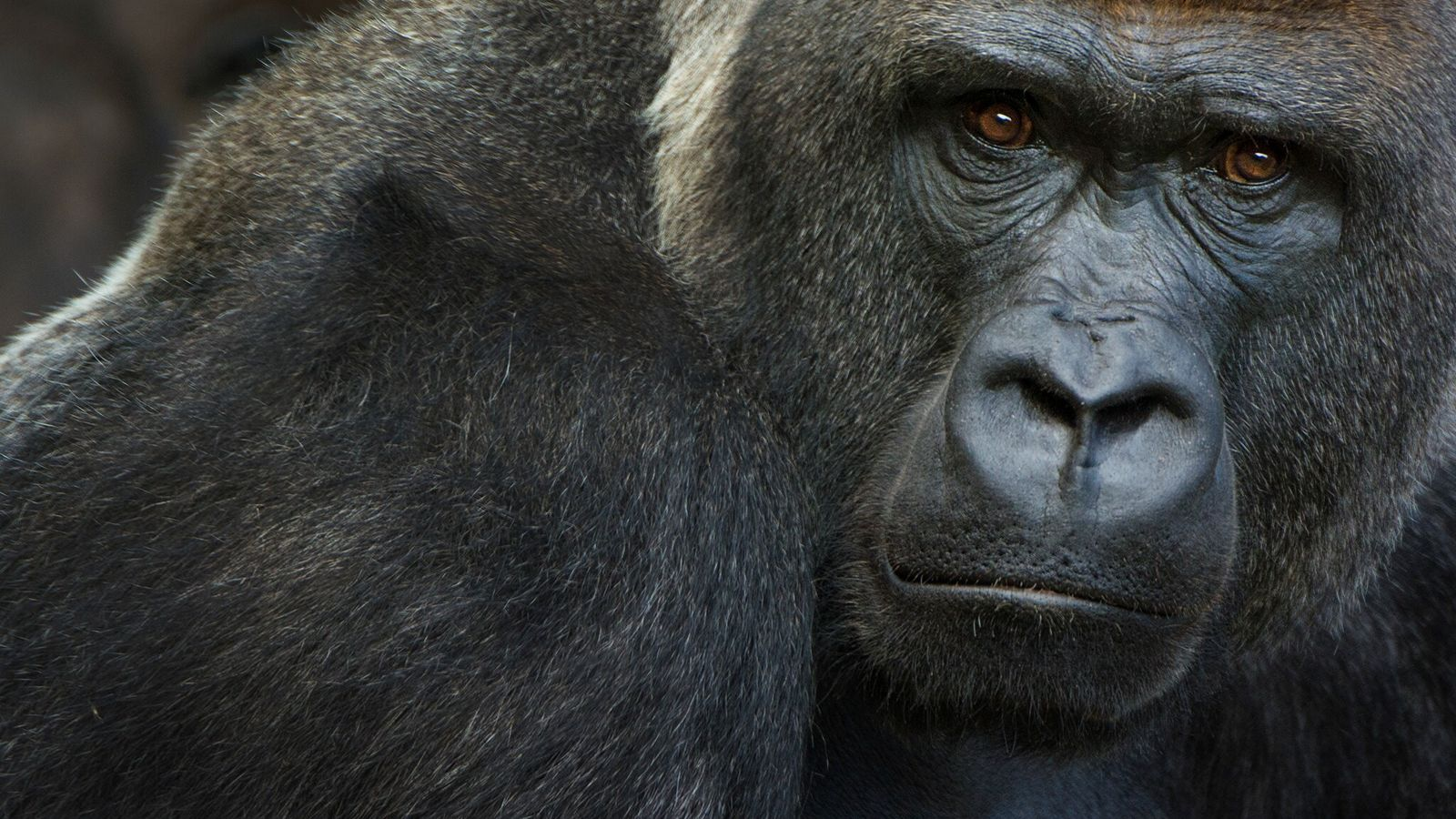 Já se sabe que gorilas-ocidentais-das-terras-baixas, criticamente ameaçados de extinção, são suscetíveis ao novo coronavírus. Em 11 ...