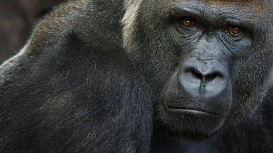 Gorilas testam positivo para covid-19 em zoológico – os primeiros casos no mundo