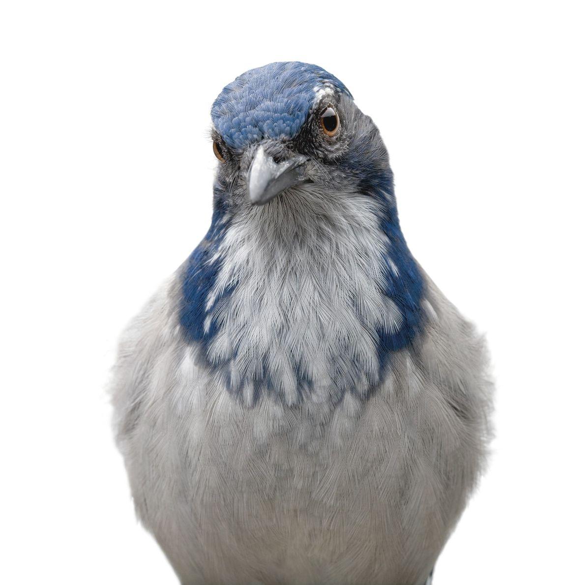 O scrub jay, um pássaro nativo do oeste da América do Norte, consegue se lembrar de ...