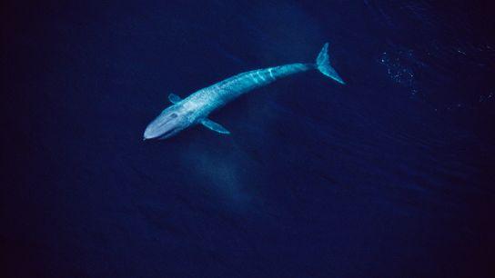 Uma vista aérea do Mar de Cortez revela uma baleia-azul de 25 metros deslizando sobre as ...